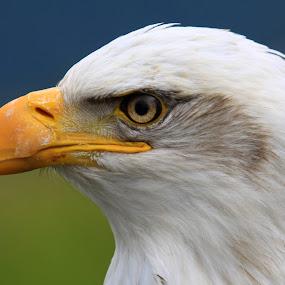 Eagle Eye by Nico Carbajales - Animals Birds ( canon, wild, bird of prey, eagle, canada, wildlife, feathers, vancouver, portriat, 50d, birds, eagle eye, nature, wings, beak, raptor, air, telephoto, bc )