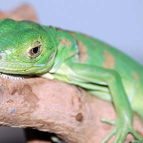 water dragon by Scott Staley - Animals Reptiles ( lizard, nature, pet, wildlife, reptile, animal )