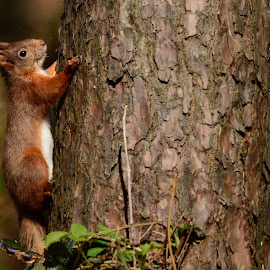Red Squirrel by Pat Somers - Animals Other Mammals