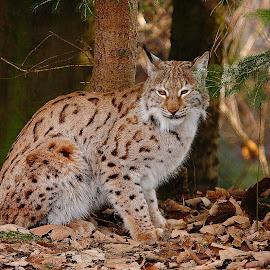 Europeen lynx by Gérard CHATENET - Animals Lions, Tigers & Big Cats