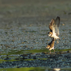 Mating by Rusman Budi Prasetyo - Animals Birds ( bird, nature, wildlife, shorebird, mating, animal, motion, animals in motion, pwc76,  )