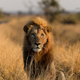Lion in Kruger NP by Ronald Boevé - Animals Lions, Tigers & Big Cats