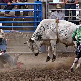 Attack bull by Gaylord Mink - Sports & Fitness Rodeo/Bull Riding ( clowns, rodeo, bull, rider, dust )