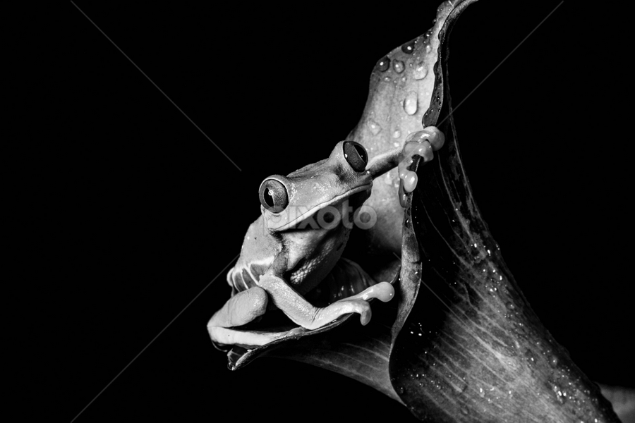 Tree frog by Garry Chisholm - Black & White Animals ( sigma, macro, nature, workshop, tree frog, amphibian, canon, garry chisholm )