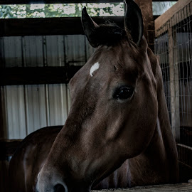 horse by Tim Hauser - Animals Horses ( animal photography, horse, tim hauser photography, fine art photography, animal )