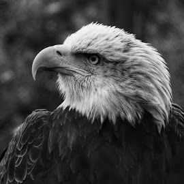 Bald Eagle  by Kimberly Sharp - Black & White Portraits & People ( canon, bird of prey, eagle, bald eagle, bird photography, black,  )