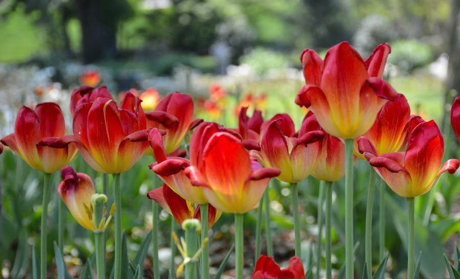 Melting Tulips by Ann Carper - Flowers Flower Gardens ( melting, sherwood gardens, tulips, flowers,  )