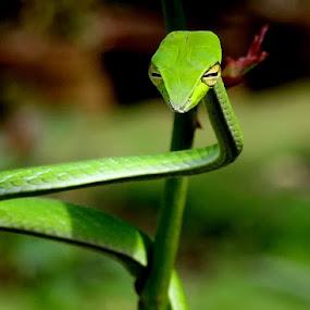 COMMON GREEN WHIP SNAKE or VINE SNAKE (Ahaetulla nasuta) by Amjad Ca - Animals Reptiles