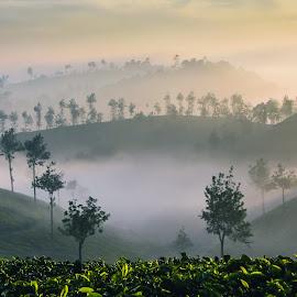 Tea plantations in morning mist by Andreja Novak - Landscapes Travel (  )
