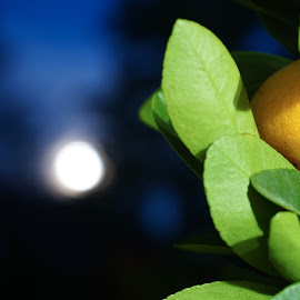 orange and the moon by Yuriy Podoba - Nature Up Close Leaves & Grasses ( orange, macro, moon, night, leaves )