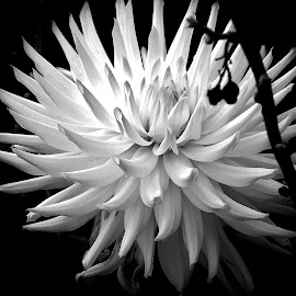DAHLIA by Wojtylak Maria - Black & White Flowers & Plants ( single, dahlia, garden, black and white, flower )