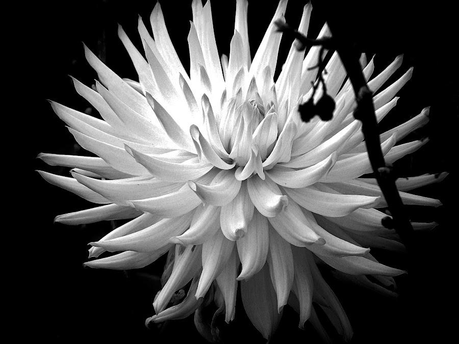 DAHLIA by Wojtylak Maria - Black & White Flowers & Plants ( single, dahlia, garden, black and white, flower )