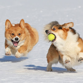 The chase is on - again by Mia Ikonen - Animals - Dogs Playing ( playing, canine, winter, chasing, pet, action, pembroke welsh corgi, finland, motion, dog, running, mia ikonen )