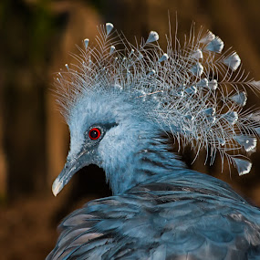 Blue Crowned Pigeon by Joan Sharp - Animals Birds ( bird, blue, crowned pigeon, brown background, animal,  )