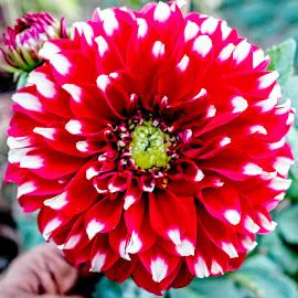 red by Mohsin Raza - Flowers Single Flower