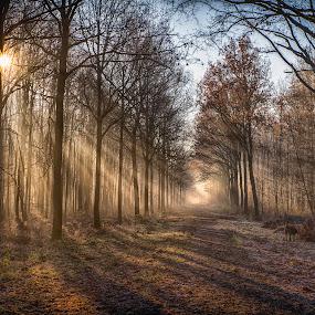 walking the dog by Egon Zitter - Landscapes Forests ( beam, light, dog, walk, mist, fog )