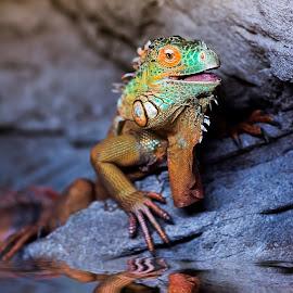 iguana by Mauritz Janeke - Animals Reptiles ( water, reflection, uae, iguana, mauritz, reptile )