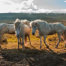 White horses by Anna Guðmundsdóttir - Animals Horses ( icelandic horses, horses, íslenskir hestar, hestar, outdoor, hestaferð, anna guðmundsdóttir, white horses, horse trip, animal )