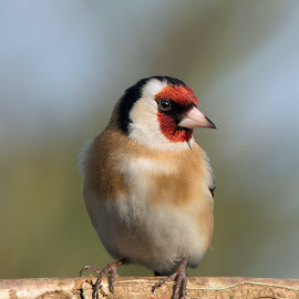 Carduelis carduelis by Dragomir Taborin - Animals Birds