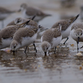 sanderlings by Indra Fardhani - Animals Birds ( shore, bird, sanderling, shorebird, birds,  )