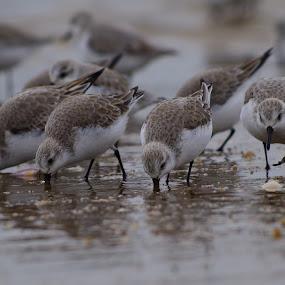 sanderlings by Indra Fardhani - Animals Birds ( shore, bird, sanderling, shorebird, birds,  )