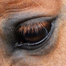 horse eye view by Judy Jones - Animals Horses ( eyelashes, horse, fur, close up, animal, eye )