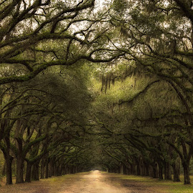 Forest Canopy by Michelle Newport - Landscapes Forests ( savannah, wormsloe, nature, georgia, trees, forest, landscape )