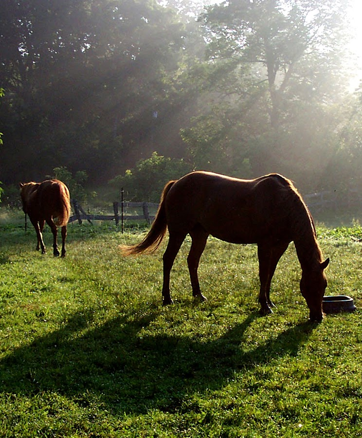 Rays from Heaven - vertical by Jenny Gandert - Animals Horses ( dew, sunlight, morning, red. rexx. horses, rays from heaven )