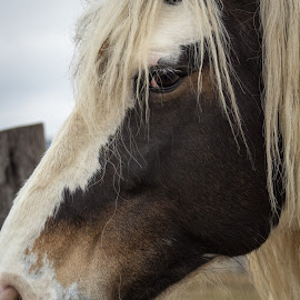 Watchful Eye by Linda Pickrell - Animals Horses ( linda pickrell, horses, horse, close up, closeup, animal )