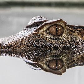Cuviers Crocodile by Garry Chisholm - Animals Reptiles ( crocodile, alligator, reptile )