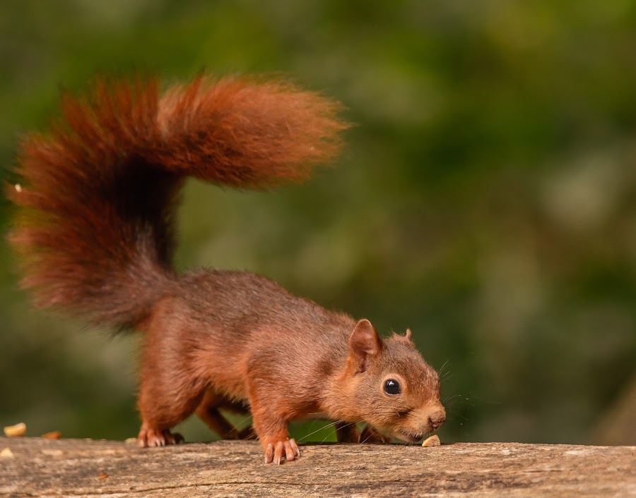 Squirrel by Avtar Singh - Animals Other ( squrieel )