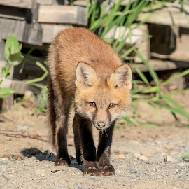 Red Fox Kit in the Adirondacks by Debbie Quick - Animals Other Mammals ( debbie quick, nature, adirondacks, nature up close, nature lovers, pup, natures best shots, debs creative images, new york, fox, national geographic, wildlife photography, red fox, red fox kit, mammal, animal photography, ticonderoga, kit, animal, wild, nature photography, furry, wildlife )
