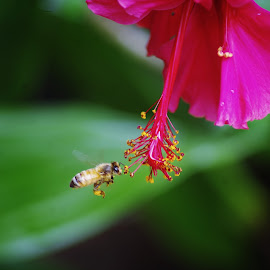 bee collecting by Carolyn Lawson - Animals Insects & Spiders