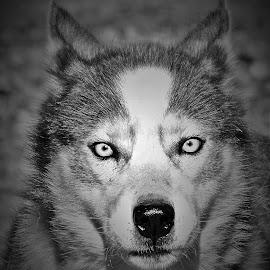 The Huskie by Monroe Phillips - Black & White Animals