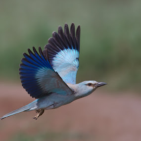 Frozen Blue.. by Srikanth Iyengar - Animals Birds ( roller, eurasian, srikanth, iyengar )