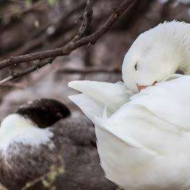 Sleepy time  by Dustin Wilcox - Novices Only Wildlife ( tired, ducks, sleeping )