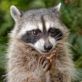 Raccoon 903_DxO Q.jpg