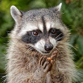 Raccoon 903 by Raphael RaCcoon - Animals Other Mammals