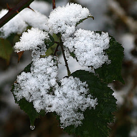 We Had a Little Snow! by Chrissie Barrow - Nature Up Close Other Natural Objects ( blackberry, nature, green, snow, white, leaves, bokeh, closeup )