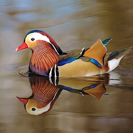 Male Mandarin Duck by David Patterson - Animals Birds ( bird, water, reflection, duck, feathers )