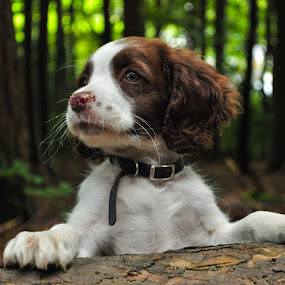 Mali by Hannah Rugg - Animals - Dogs Portraits ( springer spaniel, puppy, cute, dog )
