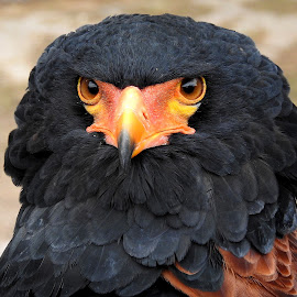 Bateleur Eagle. by Kathryn Willett - Animals Birds ( bird of prey, bateleur eagle, photography, portrait, eyes )