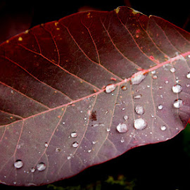 Ruscatinus leaf by Caroline Beaumont - Nature Up Close Leaves & Grasses ( red, drops, leaf, garden, rain )