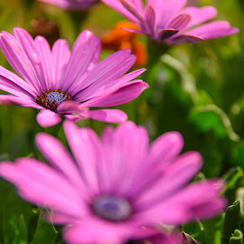 In the mornig dew by Octavian Marius Rusu - Flowers Flower Gardens ( pink, garden, flower )