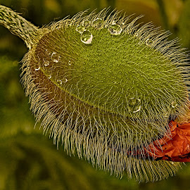 a poppy after rain by Vláďa Lipina - Nature Up Close Other Natural Objects