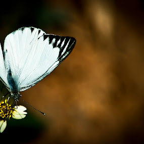 butterfly  ii by Pranjeet Sonowal - Animals Insects & Spiders ( butterfly, caterpillar, insects, dusk, flower )