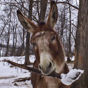 Thor's Mighty Stick by Val Ewing - Animals Other ( winter, amusing, donkey, funny )