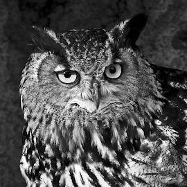 Owl observed in Camargue. by Lorraine Bettex - Black & White Animals (  )