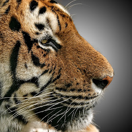 PWP tiger 34 X 08 by Michael Moore - Animals Lions, Tigers & Big Cats