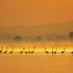 greater flamingo by Zahoor Salmi - Animals Birds ( animals, nature, zahoorsami, wildlife, birds )